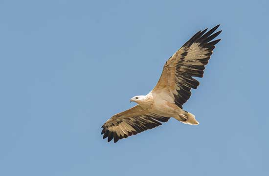 Juvenile Sea-Eagle 3 to 4 year
