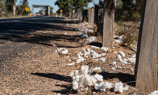 Cotton on side of road