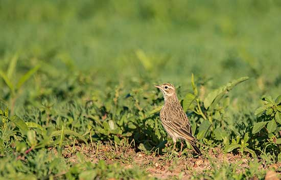 Pipit in green folage