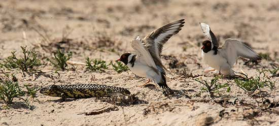 Shingleback & Hooded Plover