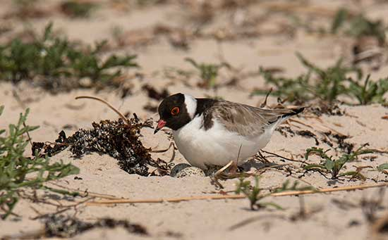 Hooded Plover & eggs