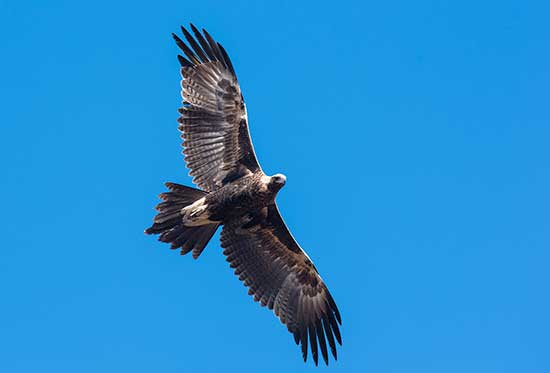 Wedge-tailed Eagle - Nullarbor